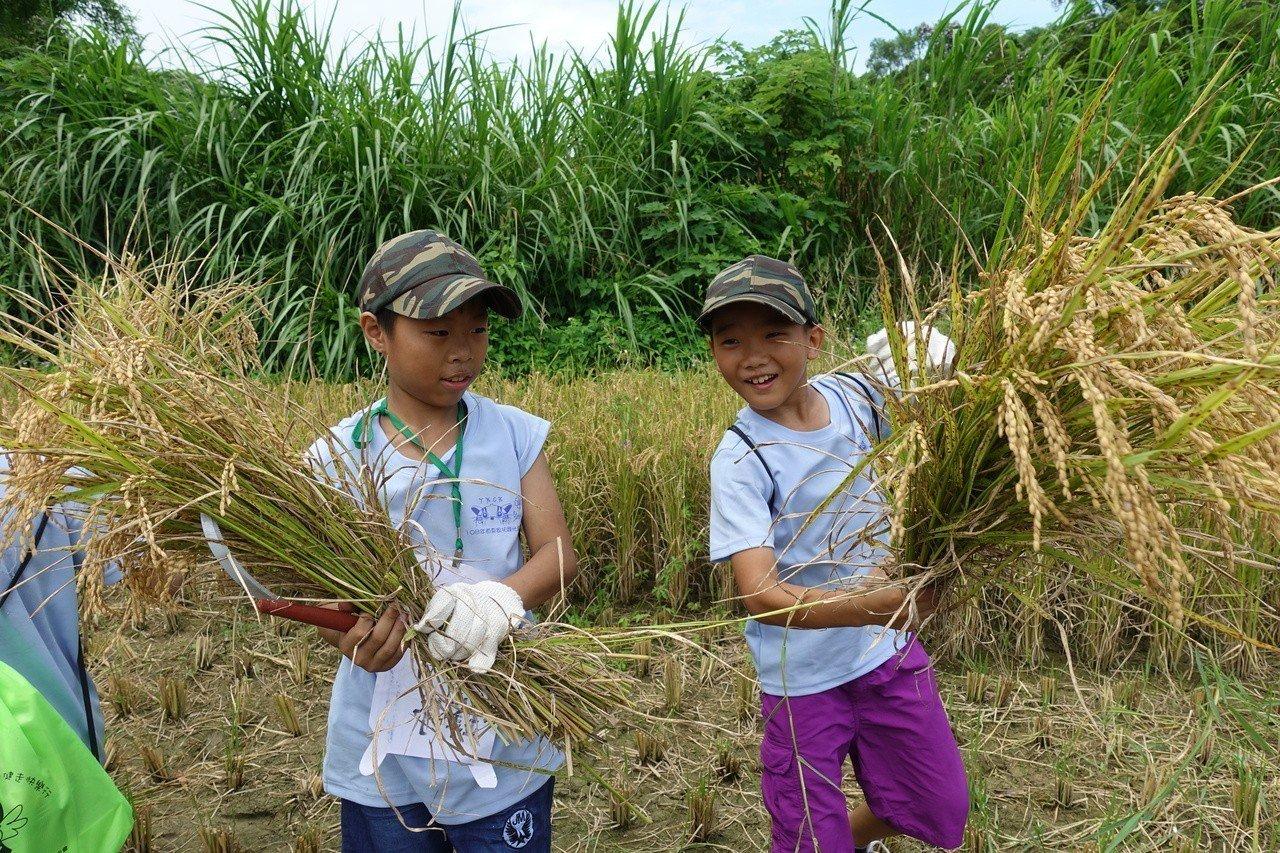 苗栗家扶中心舉辦綠光夏令營,安排學童們到稻田動手收割石虎米,學童們學習如何割稻,...