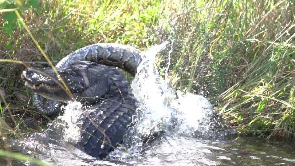 美國攝影師伊文·威爾森(Ewan Wilson)日前捕捉到鱷魚吞食巨蟒的驚悚畫面...