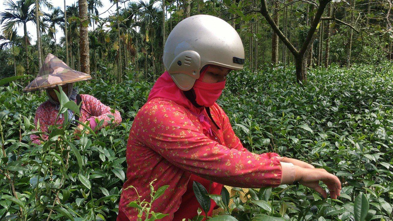 雲林縣古坑鄉桂林村去年自組女茶隊,女茶隊最年輕的茶手是年僅18歲的張怡宣(右),...