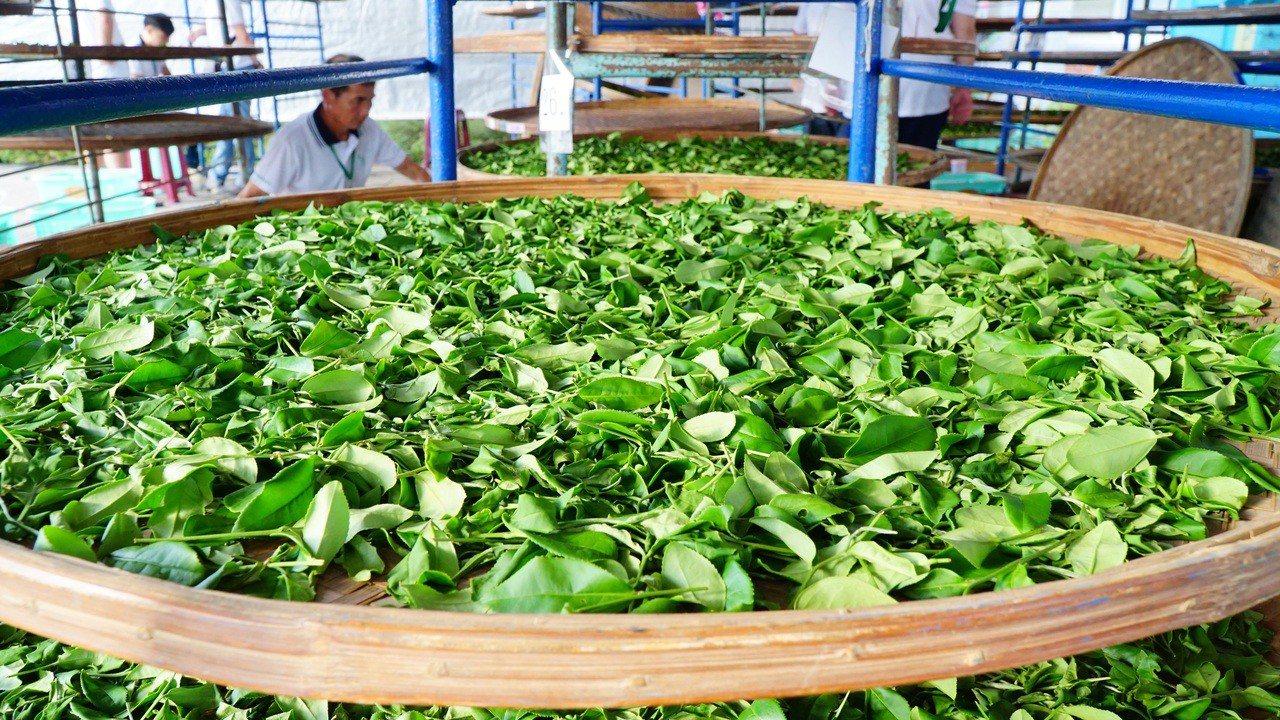 黃耀寬說,比賽進行到「萎凋」的過程時,因為製茶手法特殊,讓鋪在笳笠上的茶菁散發出...