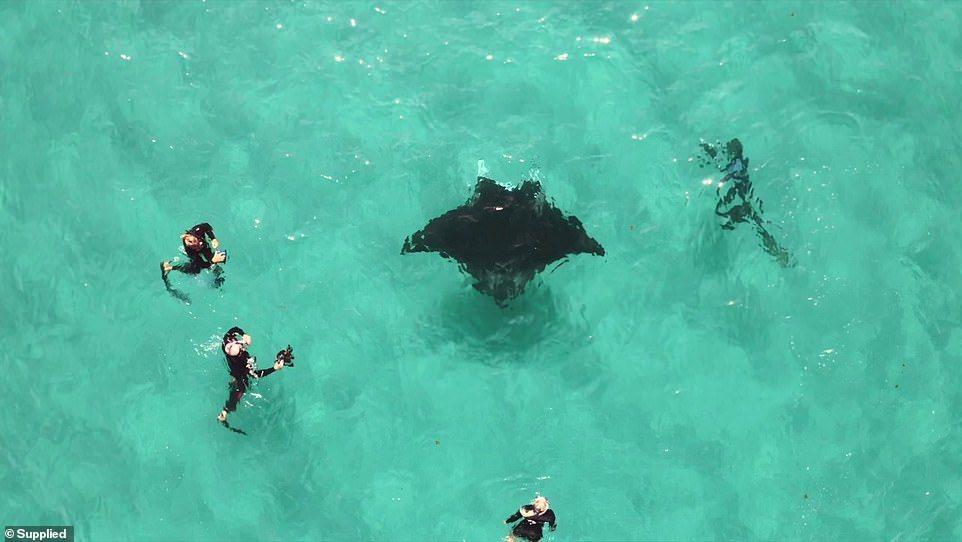 澳洲寧格魯岸礁的一隻巨型鬼蝠魟眼下部位被魚鉤勾住,直接游向正在潛水的水下攝影師與...