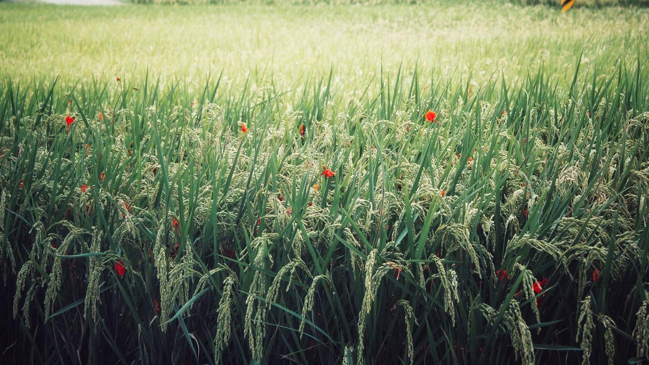花蓮南區有大片稻田,結穗時如同黃金稻浪,非常美麗。圖/水保花蓮分局提供