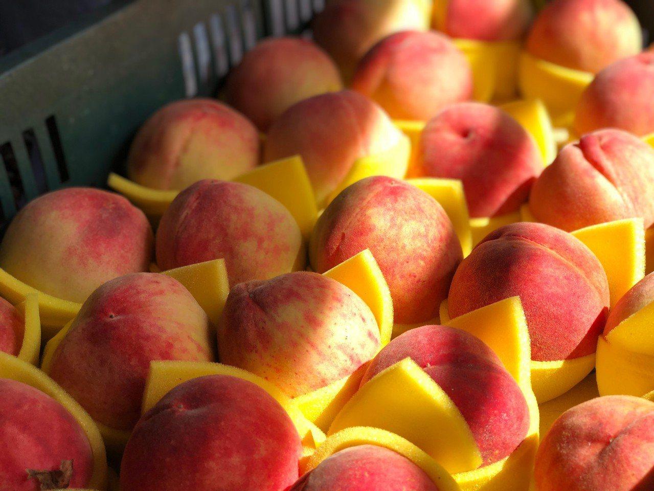 由於今年受暖冬影響,導致桃樹開花結果不良,尖石水蜜桃產量銳減。圖/尖石鄉公所提供