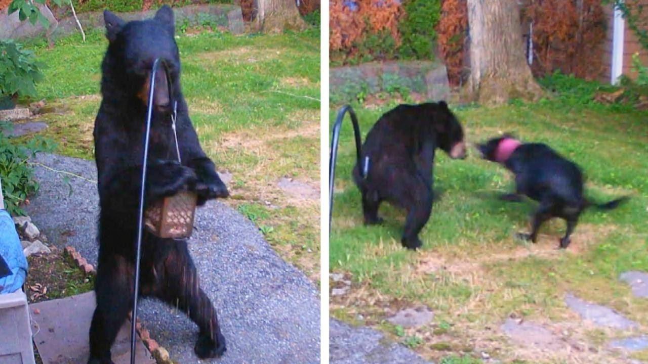 美國新澤西州修伊特居民史汀齊亞諾10日在臉書貼出一段監視器影片,一頭熊跑到他家後...