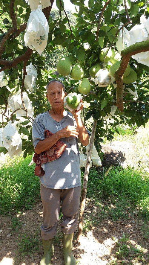 農友黃阿發表示,園區內約120株柚子樹,除了心型柚外,也有種植一般的柚子。圖/新...