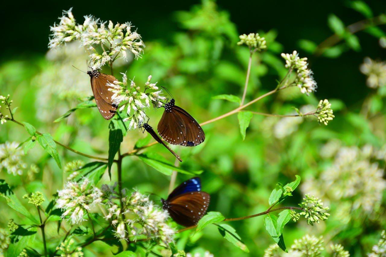 西拉雅國家風景區在關仔嶺種植蜜源植物,復育紫斑蝶10年有成。記者吳淑玲/攝影
