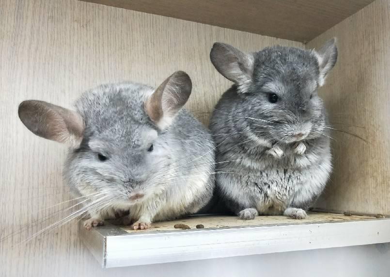 北市動保處呼籲,俗稱龍貓、皮卡丘、栗鼠的絨鼠,飼養條件高,民眾飼養前一定要慎重考...