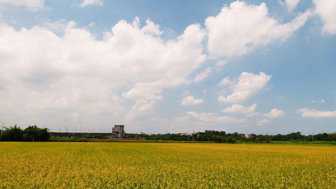 一期稻作因公糧收購量提高,連帶自營商也跟著提高收購價,對農民稱得上利多。記者鄭國...