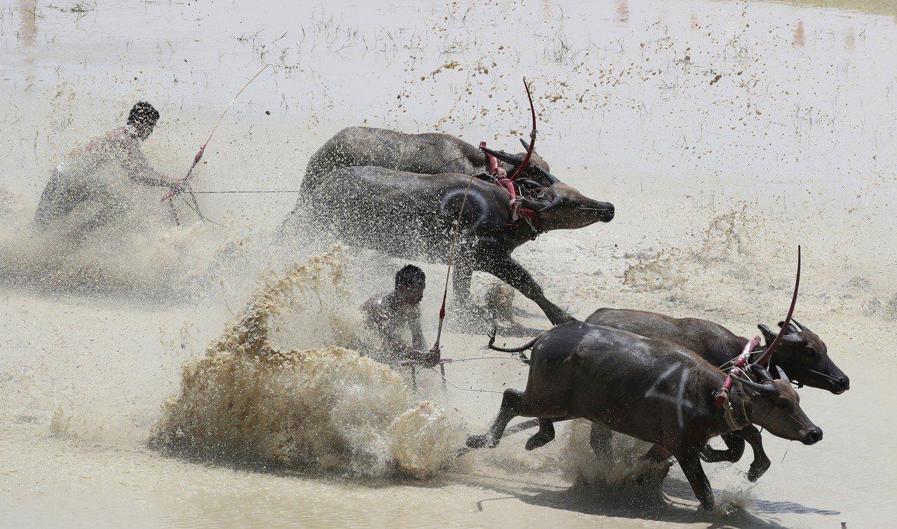 泰國東部春武里13日舉行年度傳統水牛木犁賽跑,慶祝嶄新農季的開始,並感謝水牛接下...