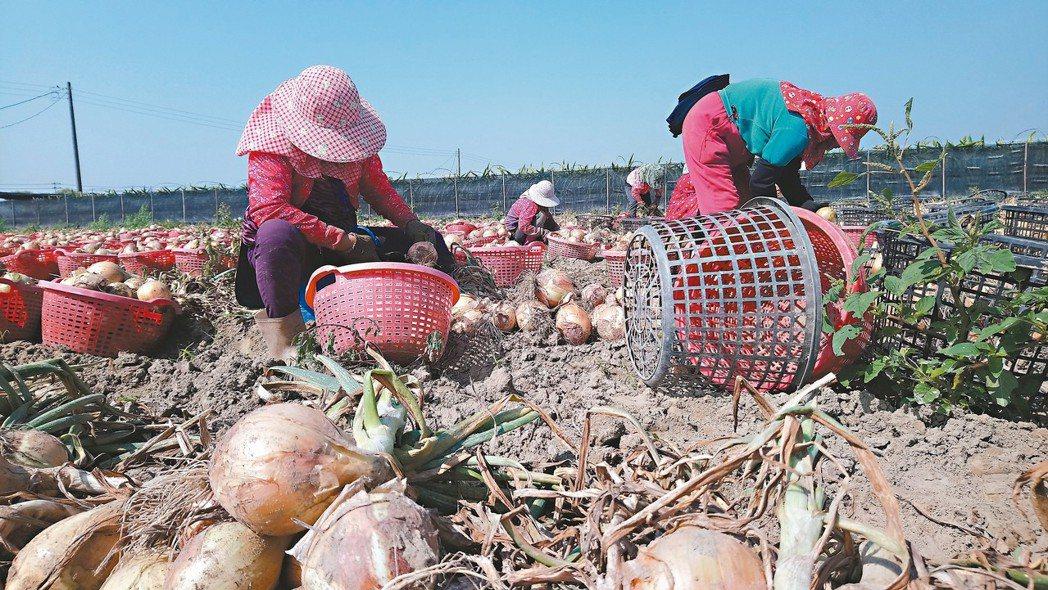 農業缺工嚴重,許多年輕人不願從事農務,嘉義縣六腳鄉每年洋蔥產季都因人手不足,鄉內...