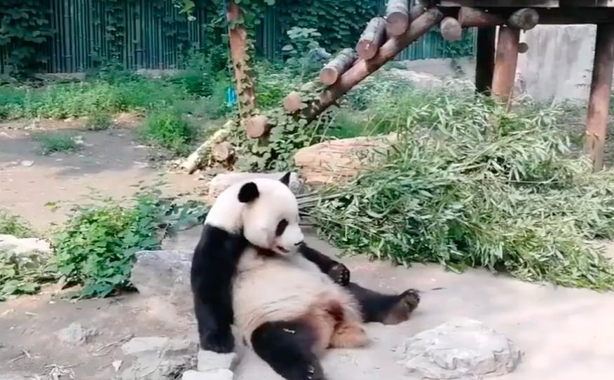 大陸網友在微博爆料稱,北京動物園半小時內有兩人向熊貓「萌大」扔石頭。圖/翻攝自網...