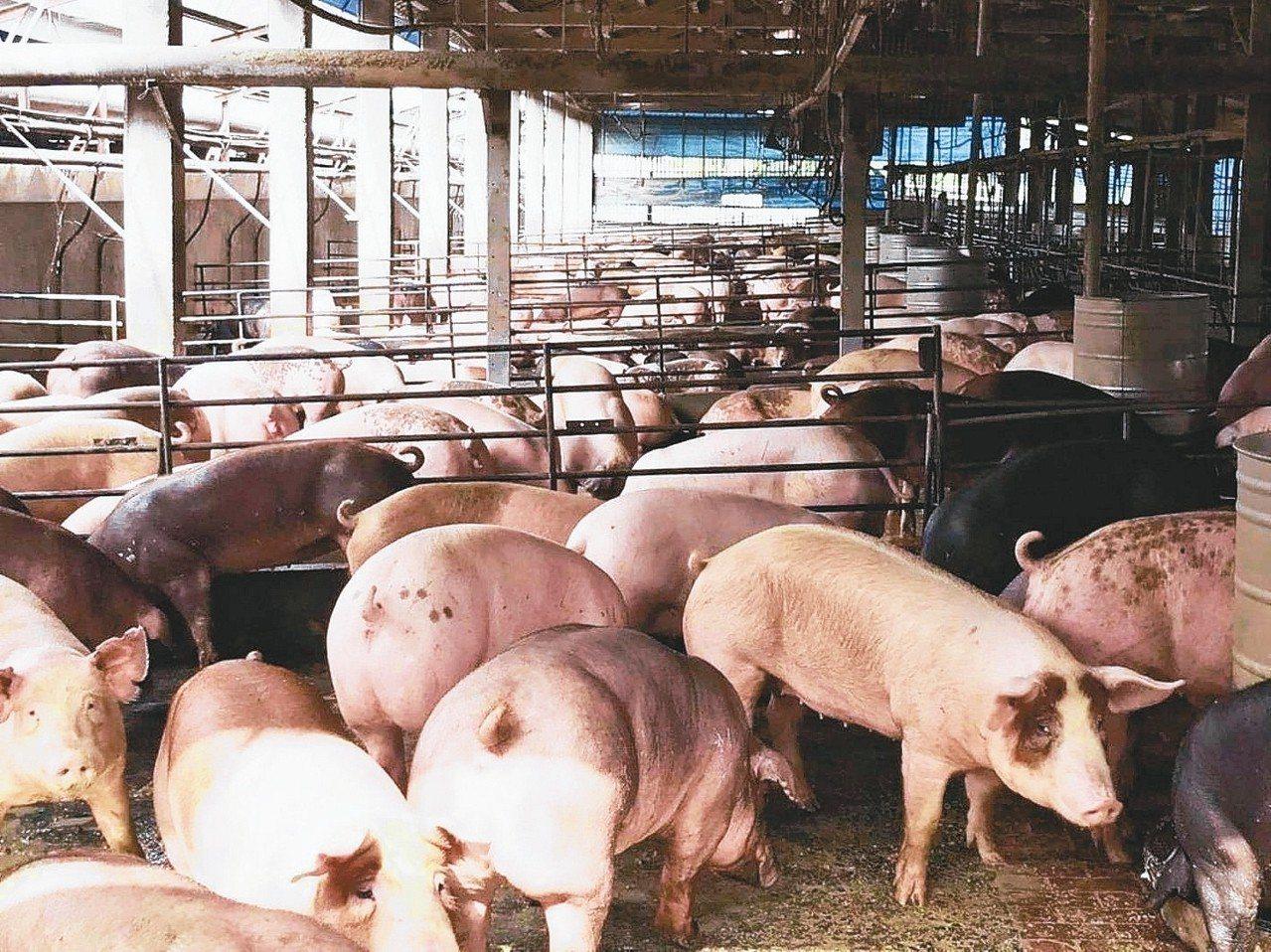 毛豬總飼養場數首度跌破7000場,主因是小場大量退場所致。 圖/聯合報系資料照片