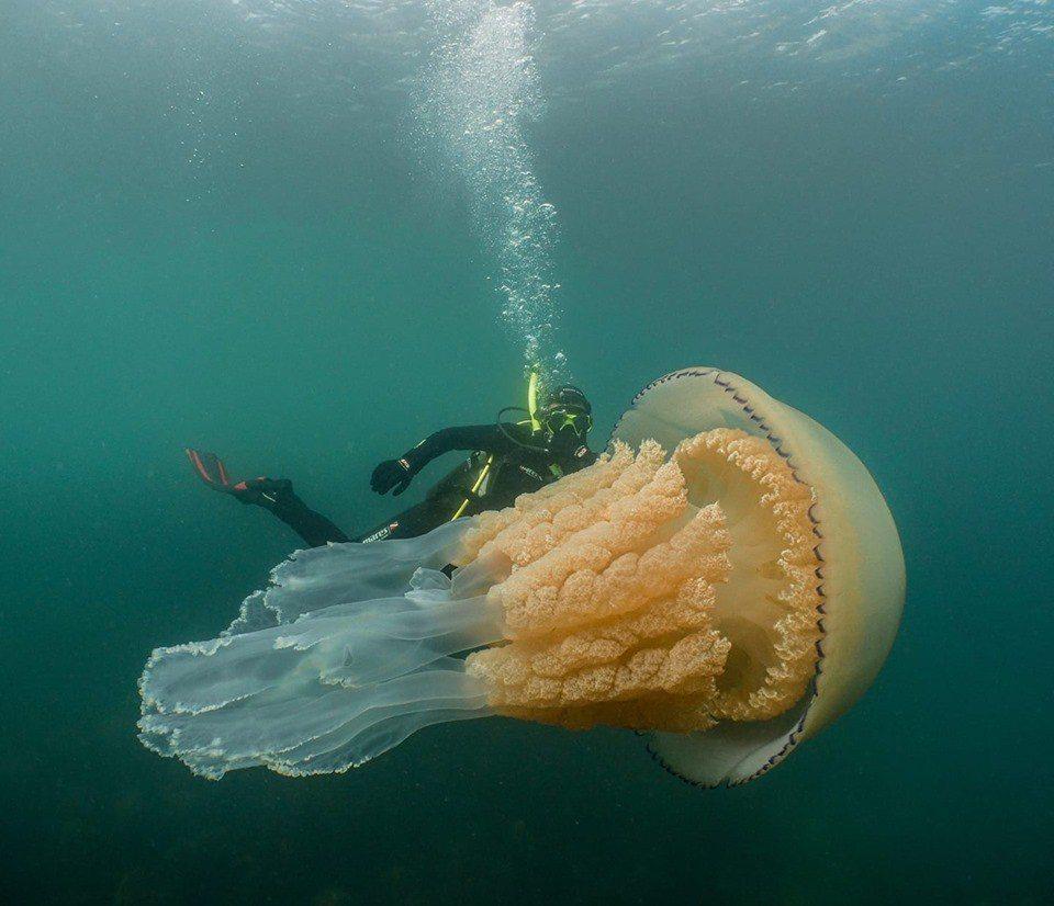 丹與莉茲到康沃爾海岸遇上「怪物級」桶水母,大小與莉茲差不多。圖擷自臉書 Lizz...