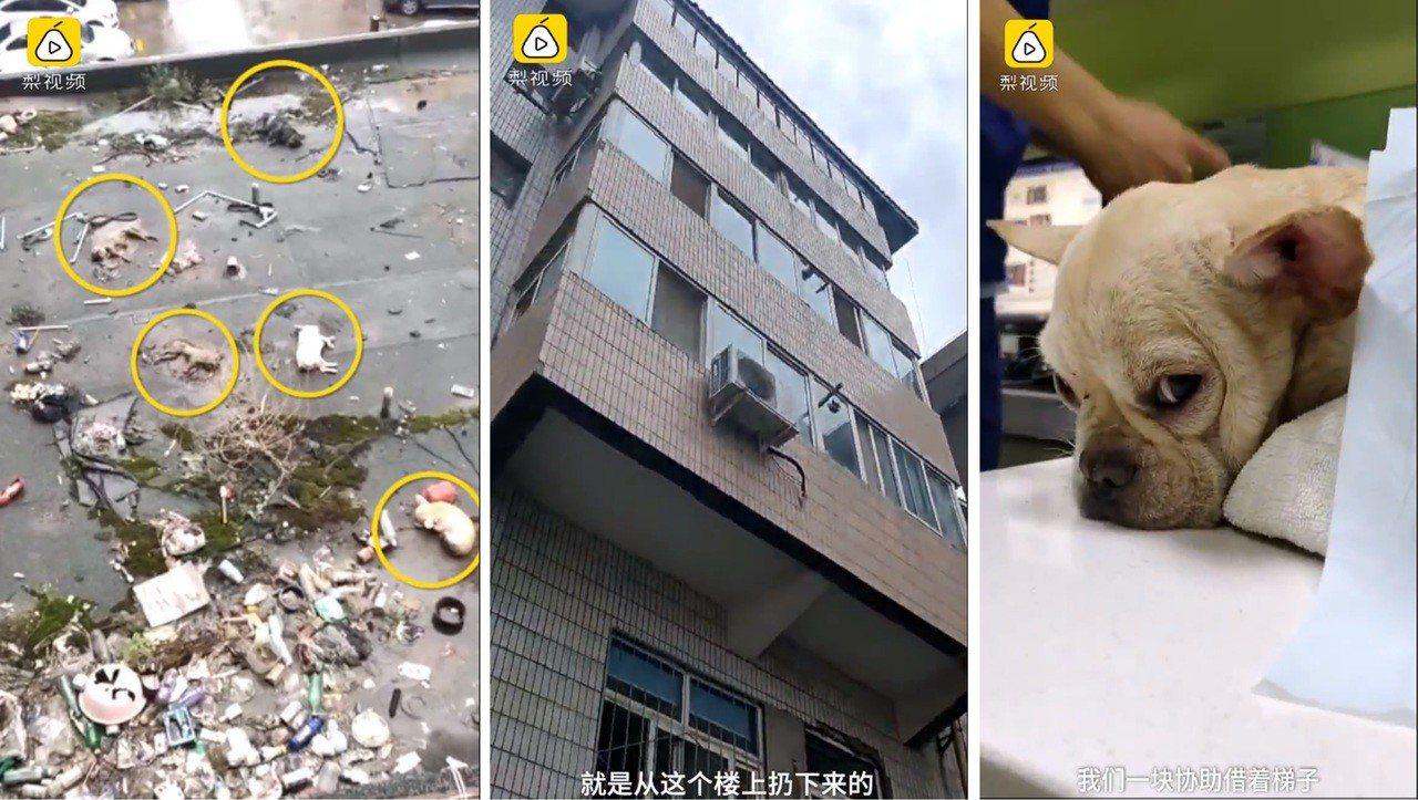 日前大陸甘肅省發生一起,5隻法國鬥牛犬被人從高樓拋下墜死的意外,其中只有一隻法鬥...