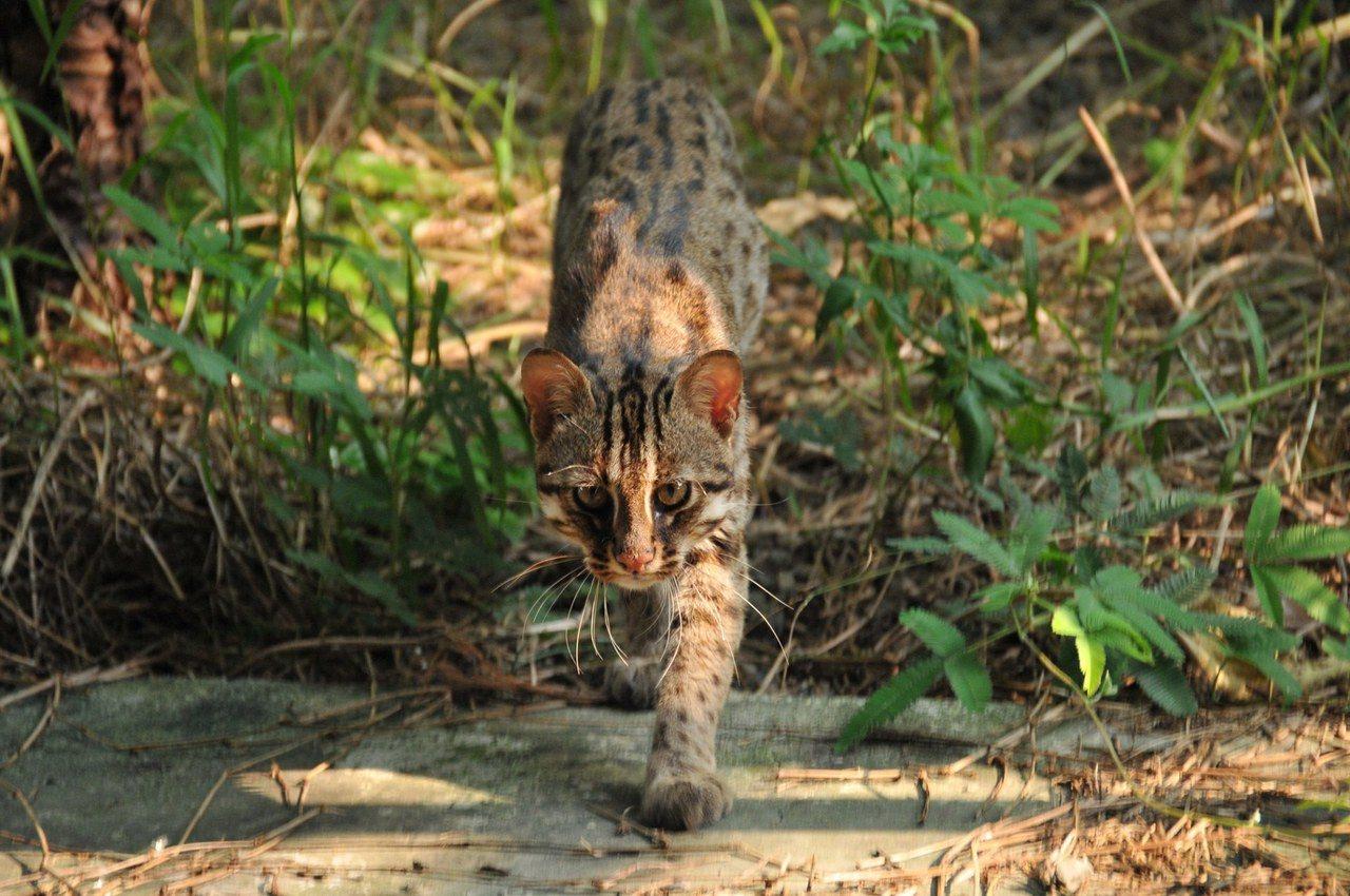 農委會林務局「友善石虎生態服務給付」上路。圖/特有生物研究保育中心提供