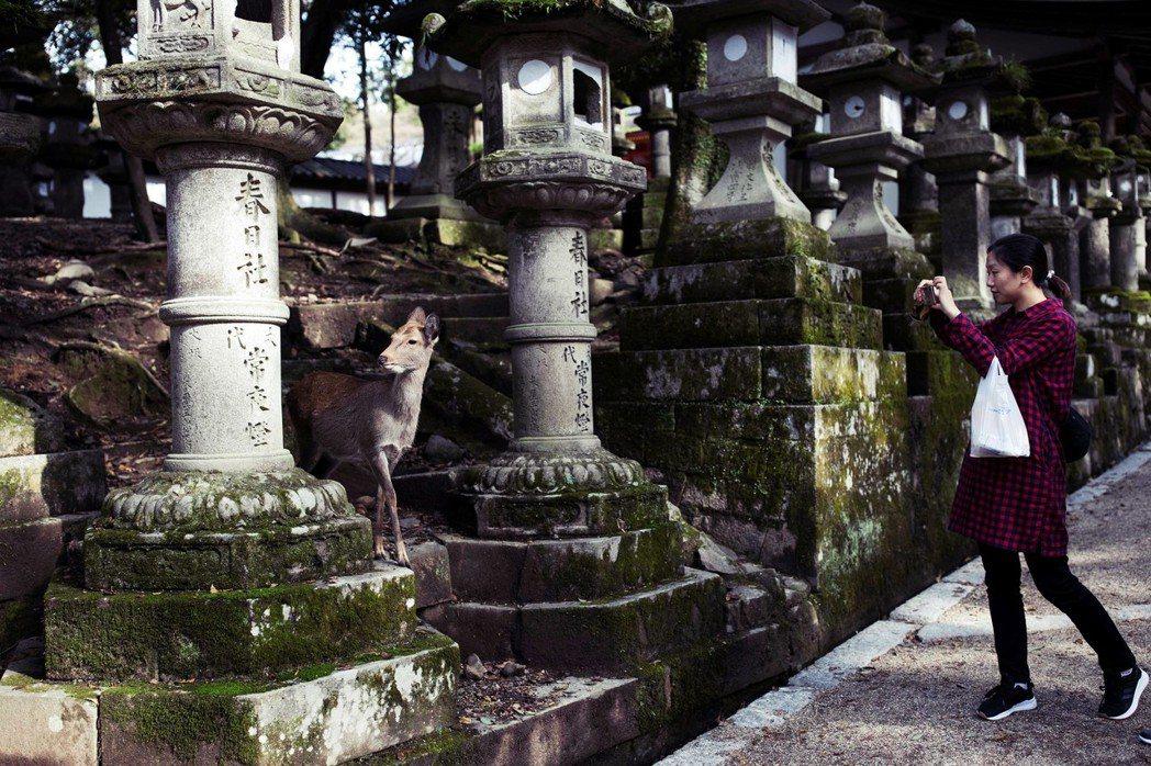 圖為春日大社的神使奈良鹿。因為奈良鹿常出現在著名景點東大寺附近,所以常有人誤會鹿...