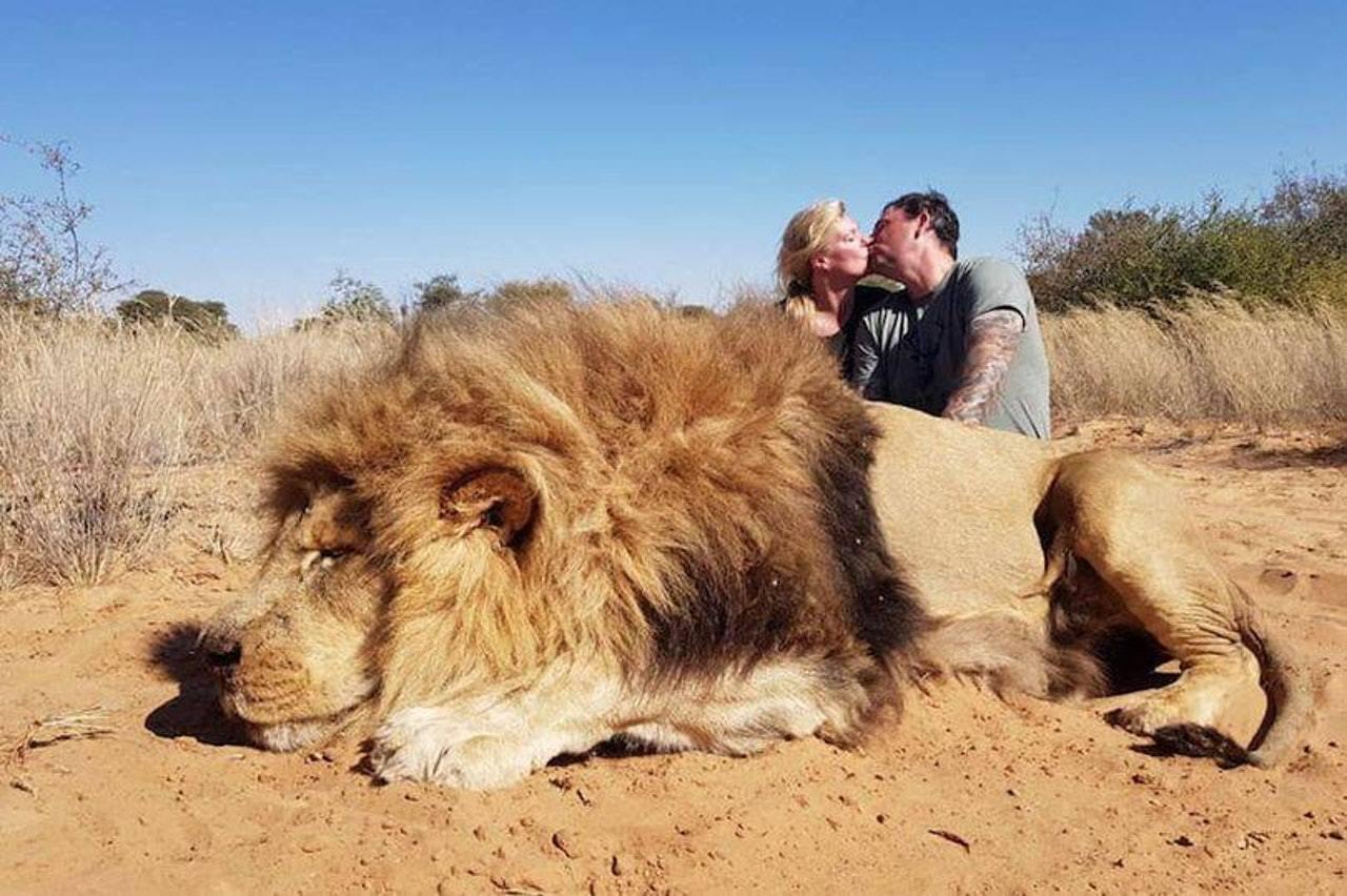 加國夫婦獵殺南非巨獅後,在其屍體旁熱吻拍照留念,被各界狠批太殘忍。 網上圖片