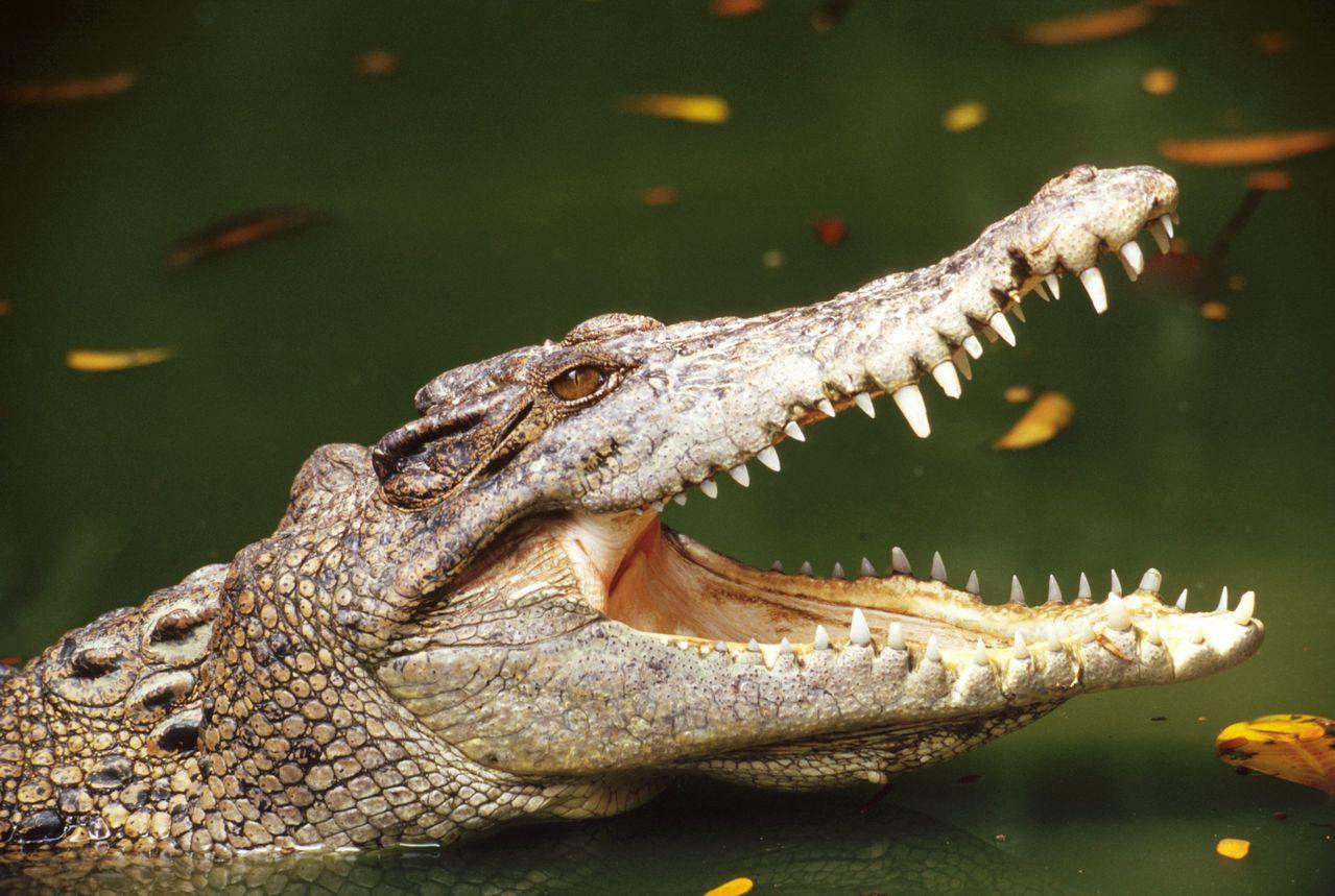 人類因將毒品沖入馬桶,導致鱷魚變種,創造出「冰毒鱷魚」。示意圖/ingimage