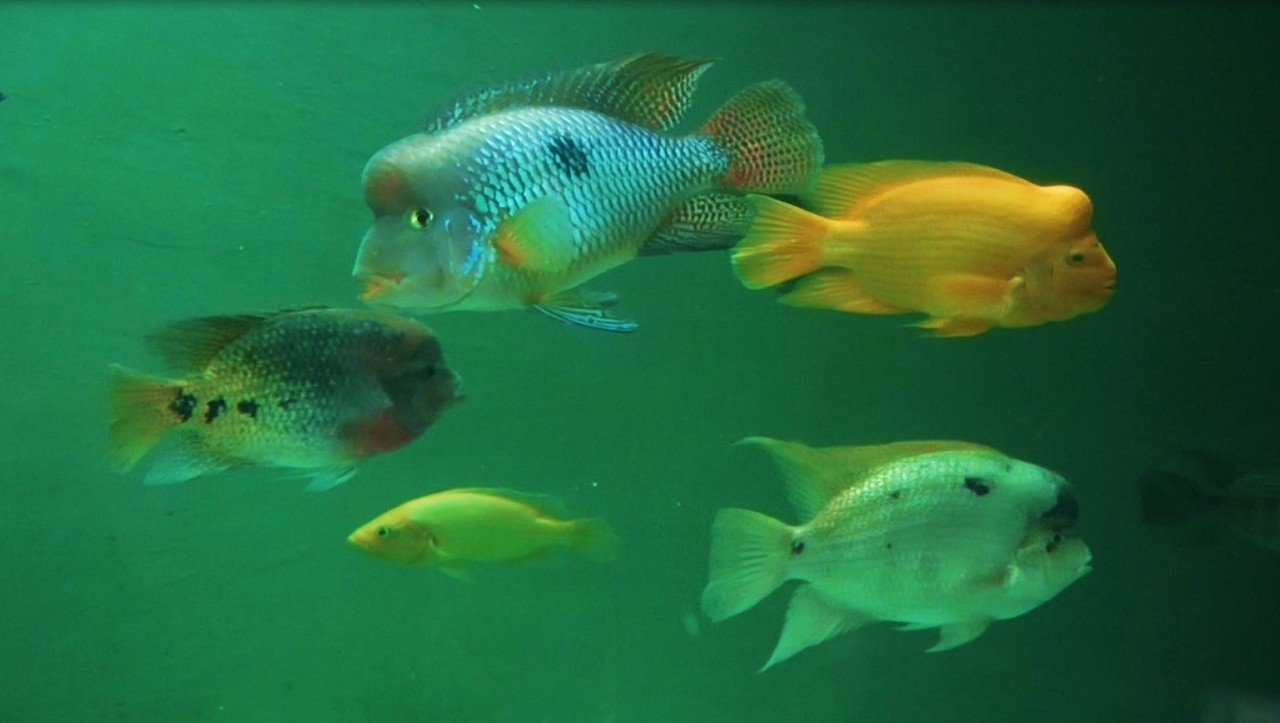 「慈鯛科」的魚為什麼會有「慈鯛」的稱號,就是因為魚爸媽的護幼行為而得名。圖 / ...