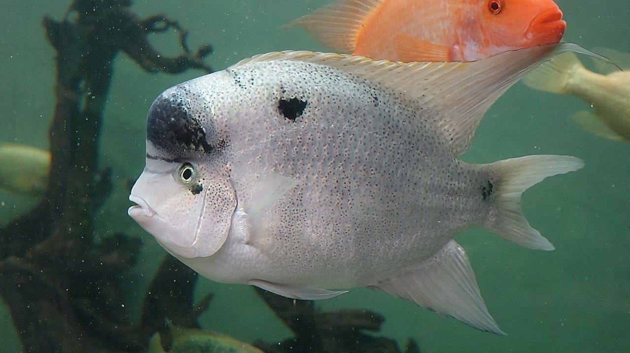 慈鯛科的魚類會一直保護子代,直到牠們可以獨立生活為止。圖 / 台北市立動物園提供