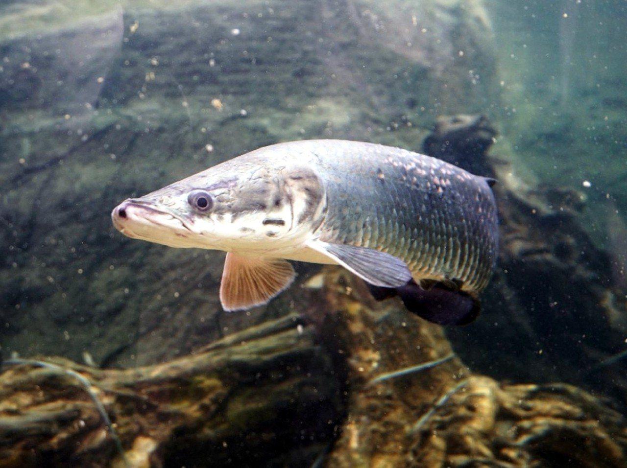保育員在魚種的選擇上,都是以狀況良好以及適應力廣泛的物種為主(象魚)。圖 / 台...