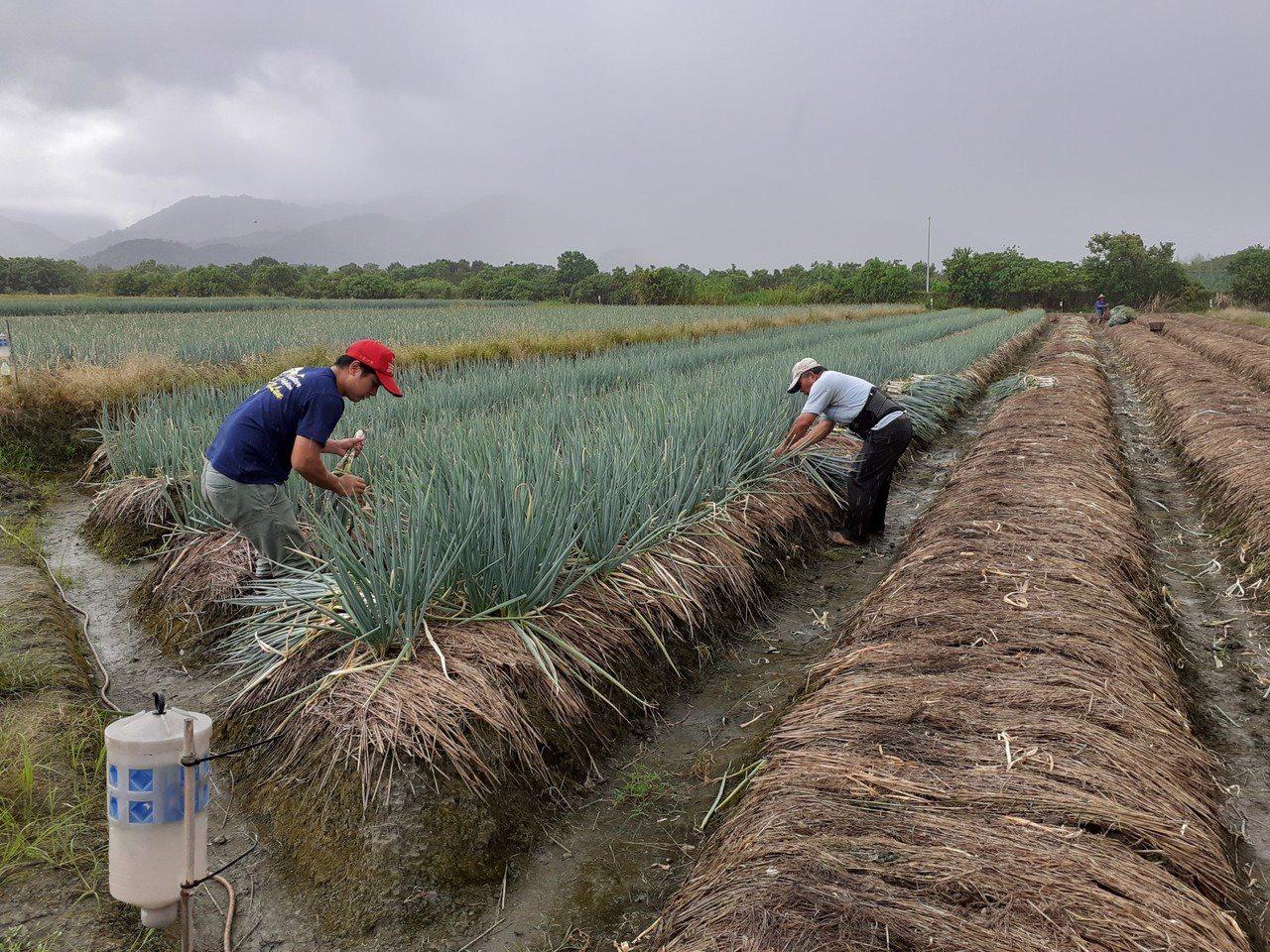 颱風還沒來,「三星蔥」拍賣價一口氣漲了20元, 部分農民趁價格好,趕忙採收了一些...