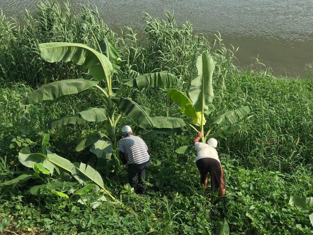 彰化縣政府派員到員大排勘查水道的「香蕉園」後,全部連根剷除。照片/水資處提供