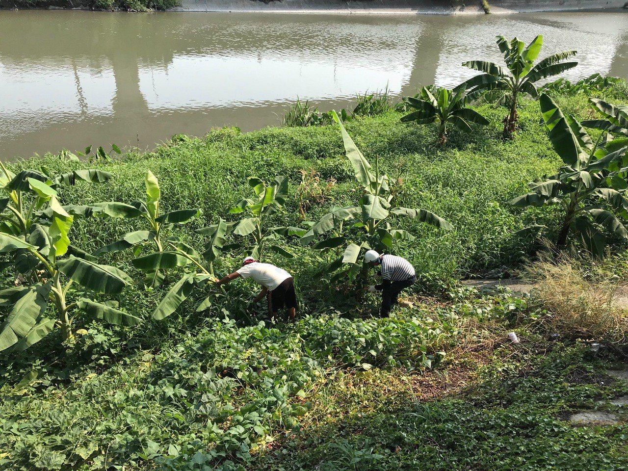 彰化縣政府派員到員大排勘查水道的「香蕉園」後,今天全部連根剷除。照片/水資處提供