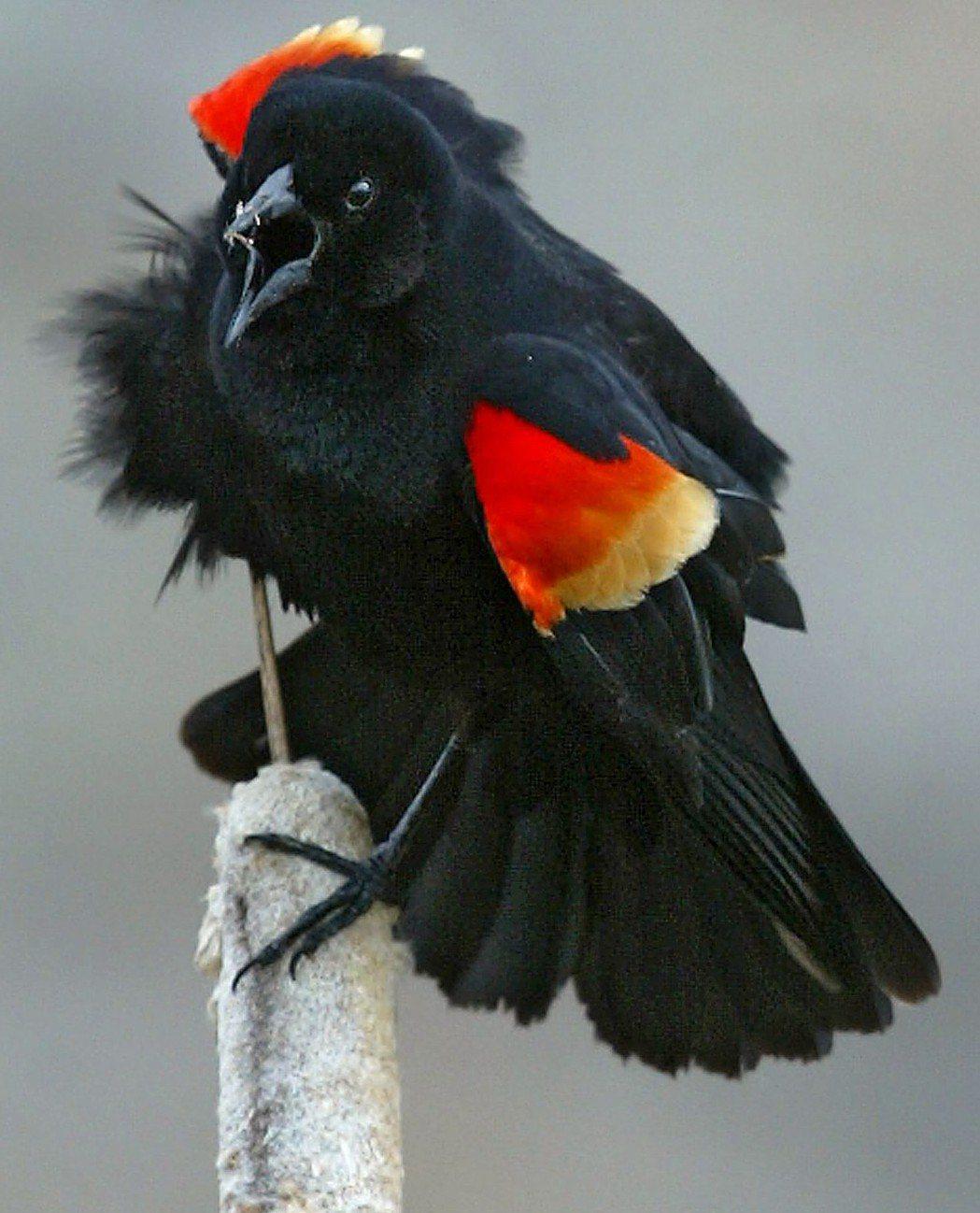紅翅黑鸝。美聯社
