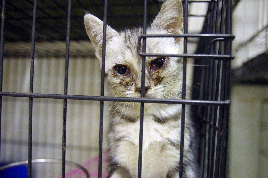 新北市動保處人員到新莊一家犬貓繁殖場稽查,發現一身病痛的小貓。 圖/聯合報系資料照