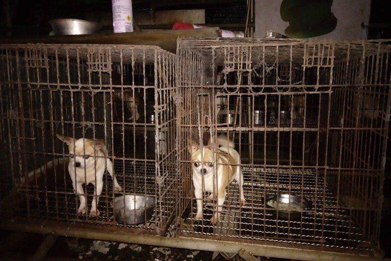 2017年查獲的三峽繁殖場,56隻品種犬中有5隻慘遭割除聲帶,現場環境凌亂不堪。 圖/新北市動保處提供