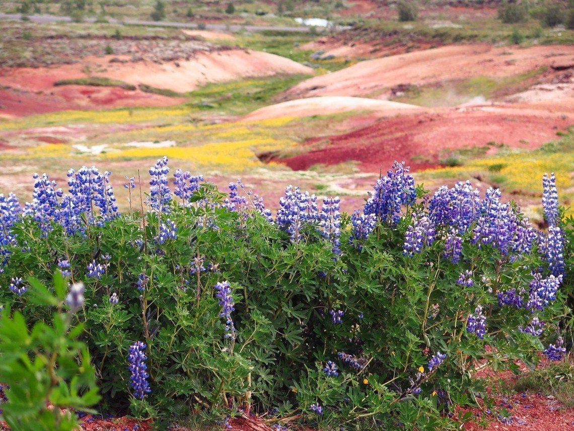 除了引進外來樹種栽植,冰島官方也透過引進阿拉斯加魯冰花,以改善土壤。但外來種卻也...