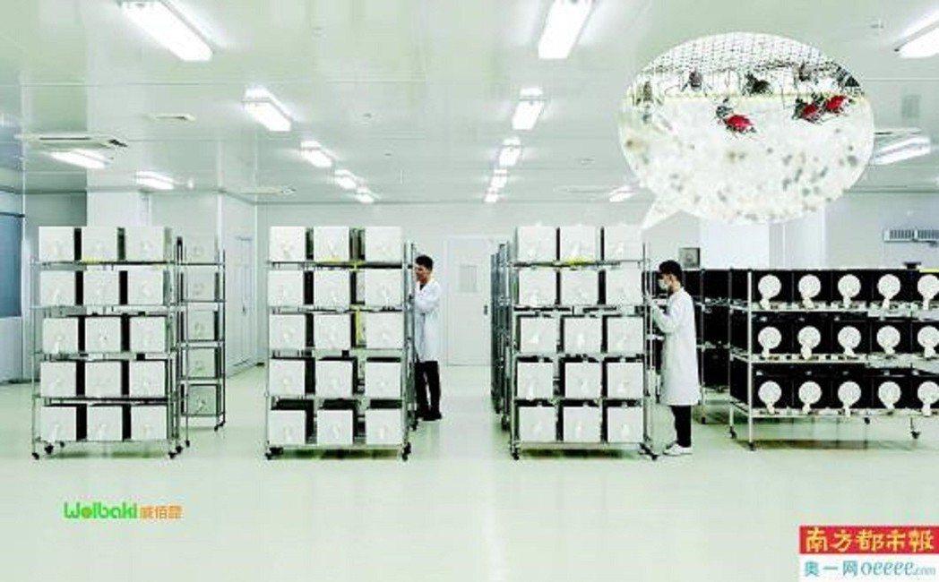 今年蚊子工廠第二代生產線啟用,每週產量將達1,000萬隻雄蚊。圖/南方都市報