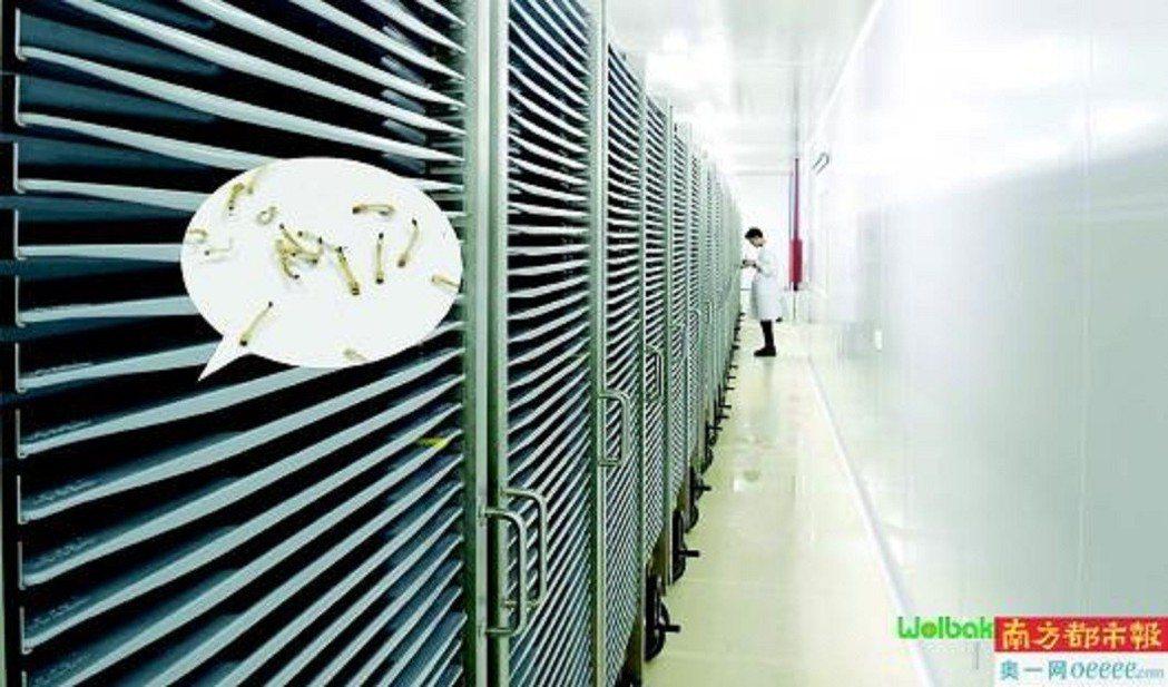 位於廣州蘿崗的世界最大蚊子工廠,「絕育蚊子」像在生產線上「生產」出來。圖/南方都...