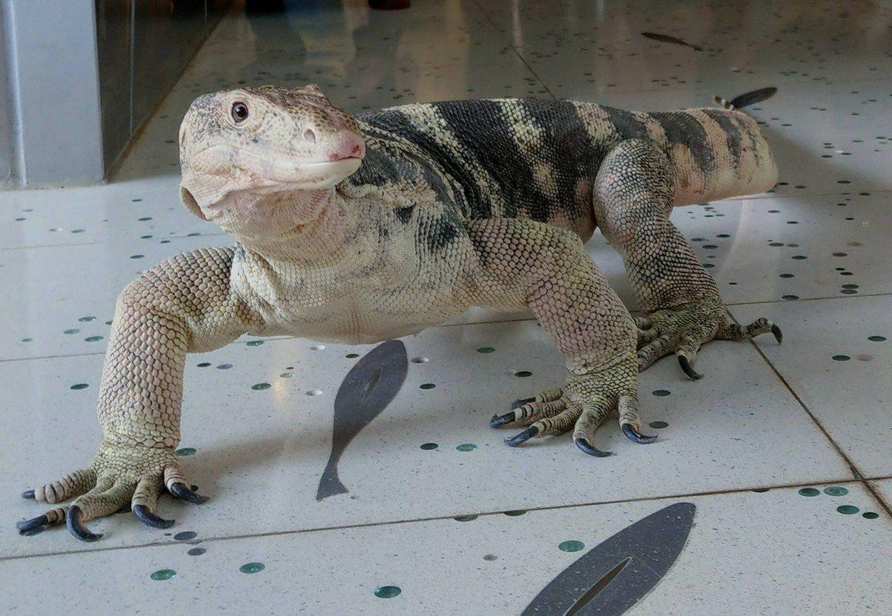 國立海洋科技博物館本周末將有一場別開生面的兩棲爬蟲走秀,並將及民眾進行一場兩棲爬...