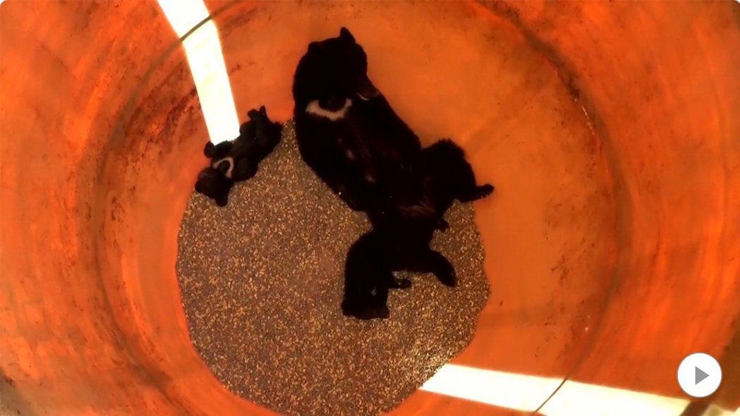 母熊和兩頭小熊跌落裝著玉米的飼料桶內。(取自FNN網站)