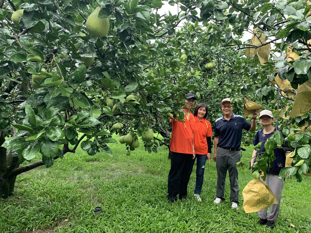 台南麻豆文旦產區的果園,已有一半採取草生栽培的管理方式,更省工也涵養土壤,果實更...