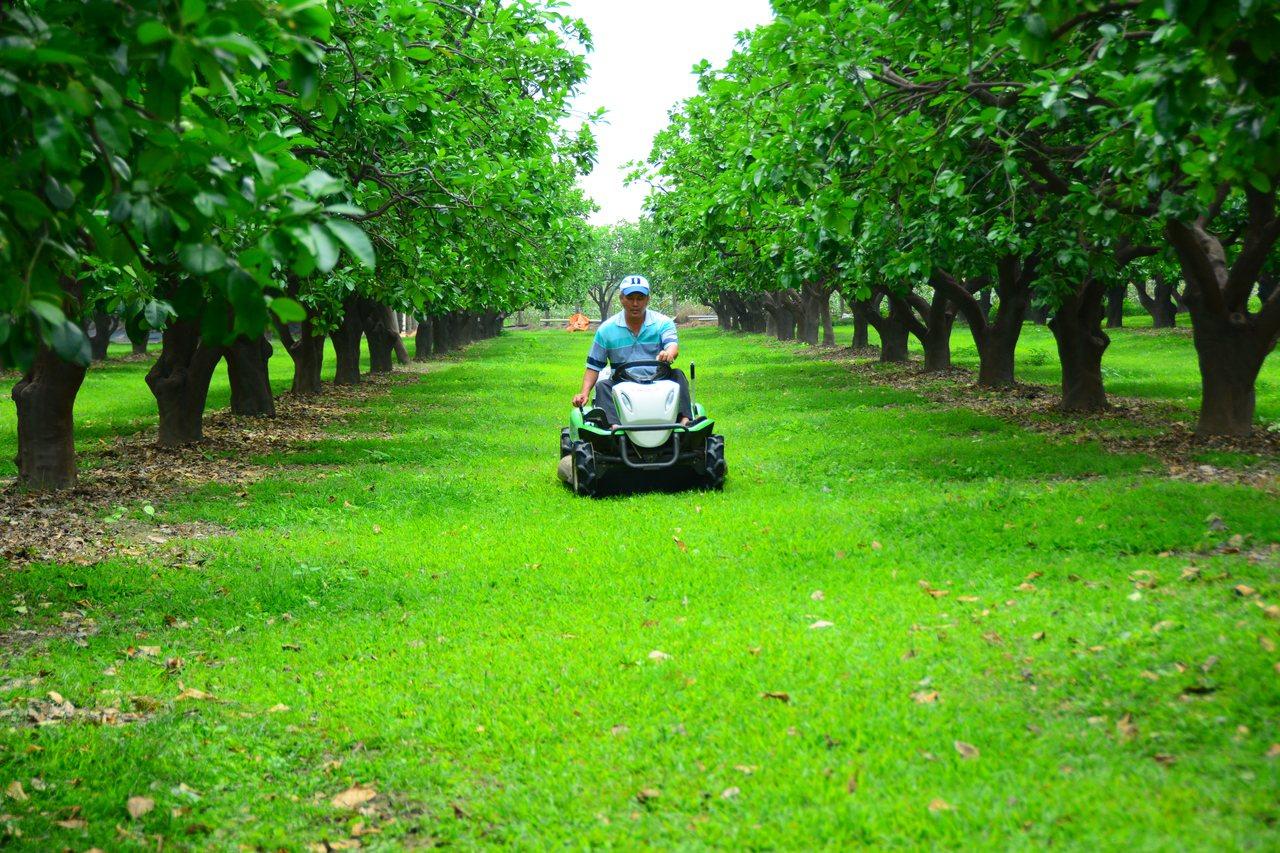 台南麻豆文旦產區的果園,採用草生栽培,綠油油一片相當漂亮。記者吳淑玲/攝影