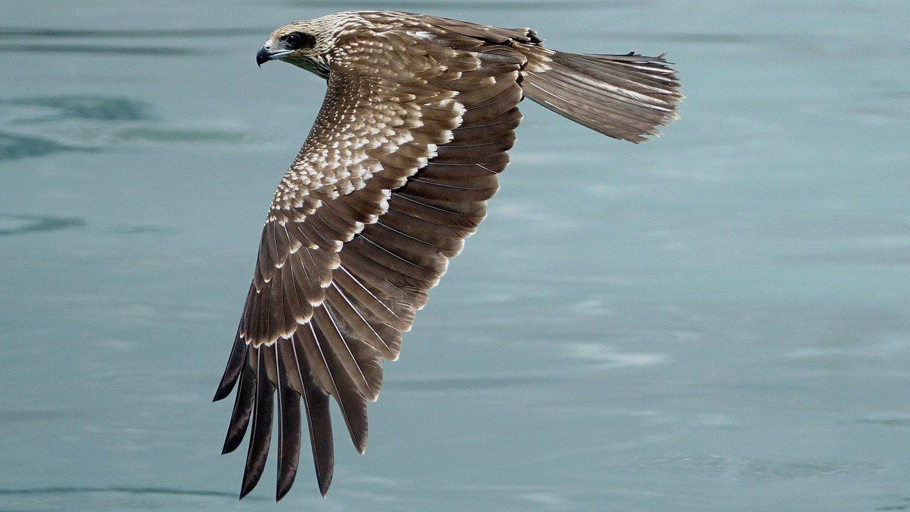 目前基隆港已經可以看到5隻以上的幼鳥活動,盤旋飛翔展英姿,有著漂亮羽毛的新生黑鳶...