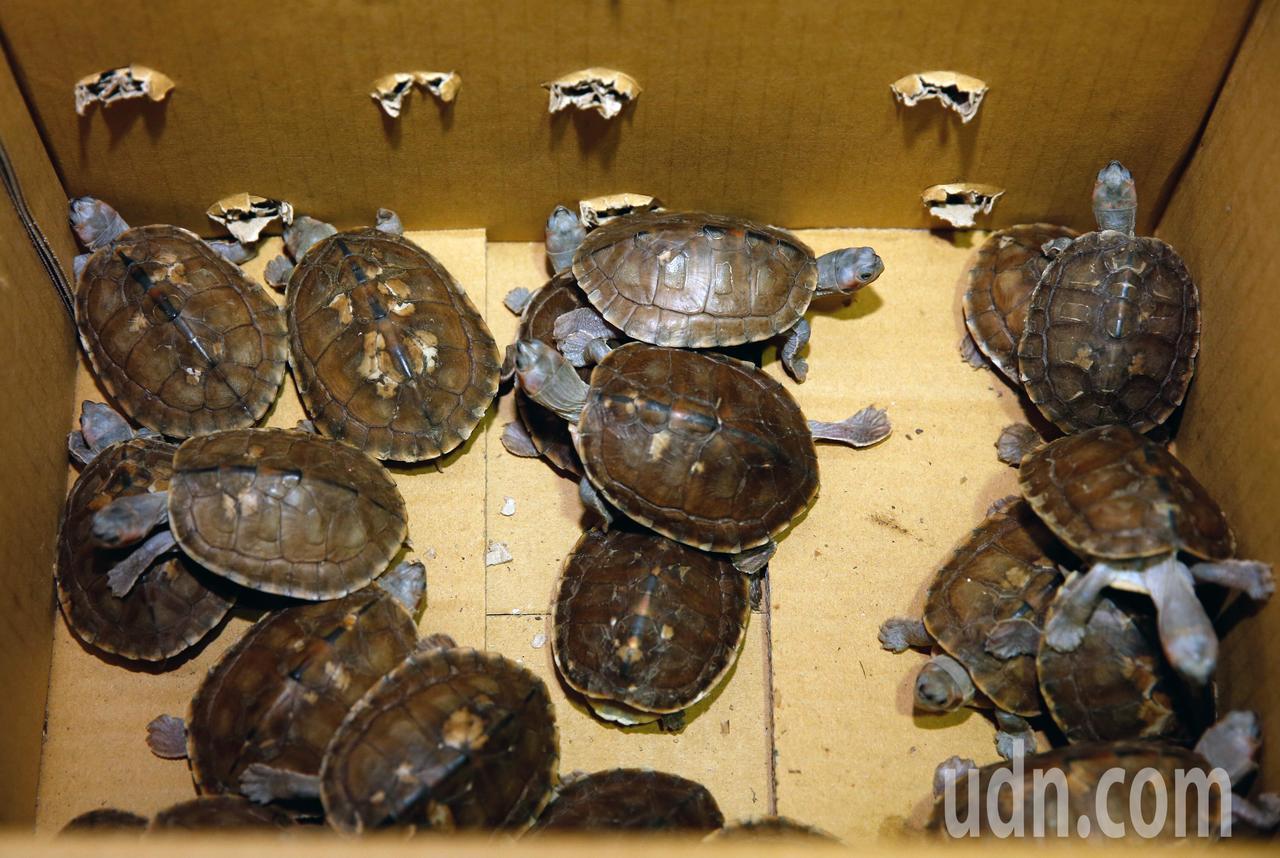 關務署台北關昨天在桃園機場查獲二級保育類棕靴稜背龜21隻。記者鄭超文/攝影