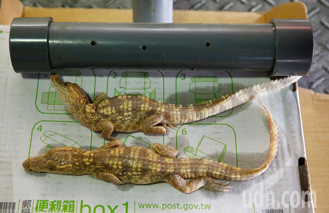 關務署台北關昨天在桃園機場查獲3隻白化的鱷魚,走私者將其藏在水管中,導致兩隻被查...