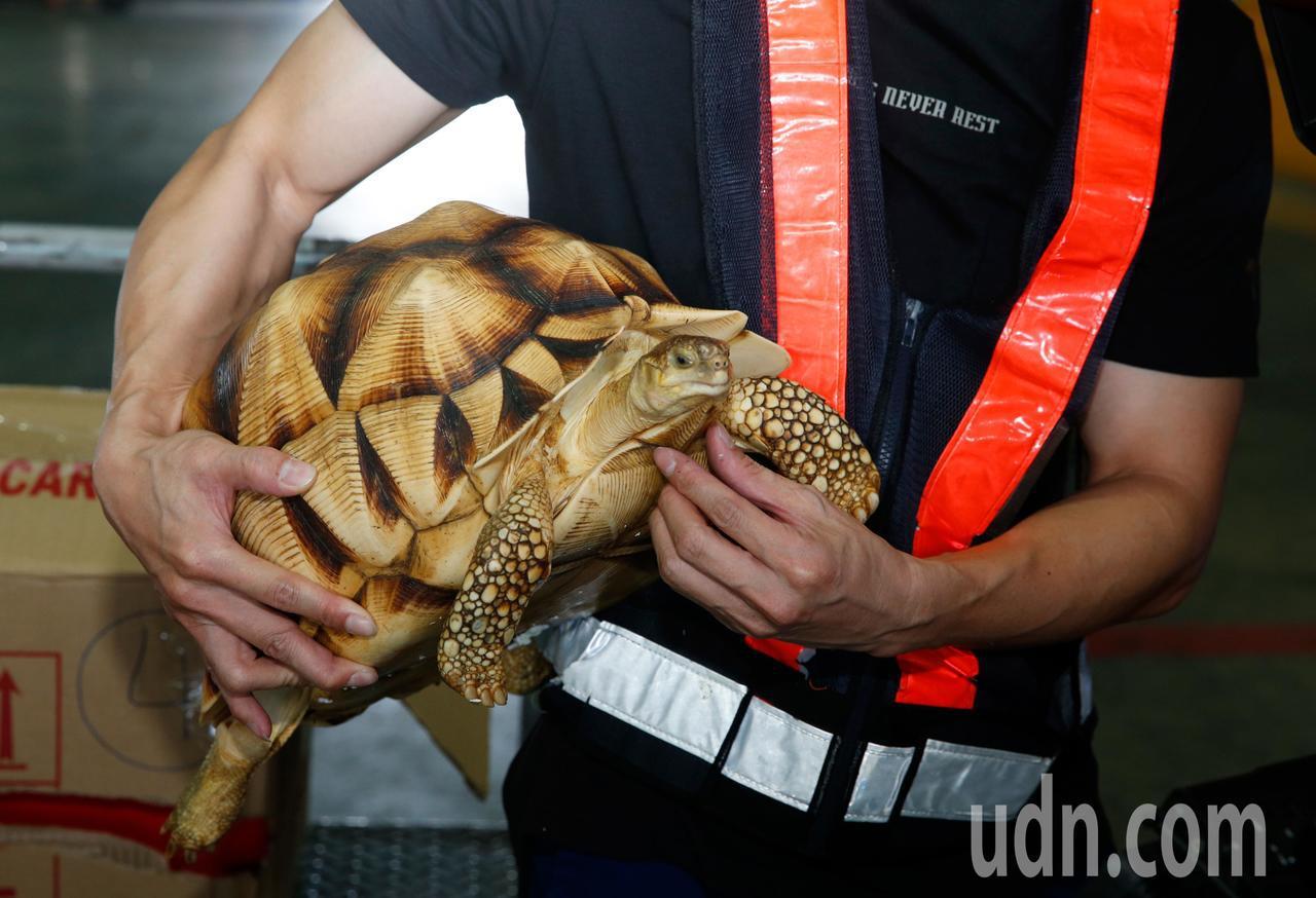 關務署台北關昨天在桃園機場查獲兩隻一級保育類的安哥洛卡陸龜,其中一隻長約41公分...