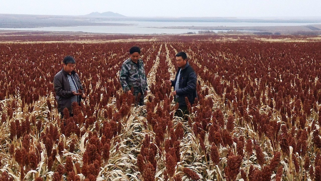 大陸為全球最大高梁進口國。圖為大陸黑龍江的紅高梁。(本報系資料庫)