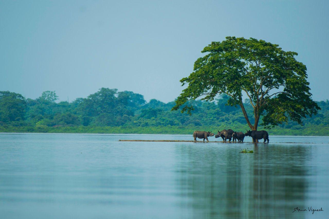 卡齊蘭加國家公園擁有世界上數量最多的印度獨角犀(one-horned rhino...