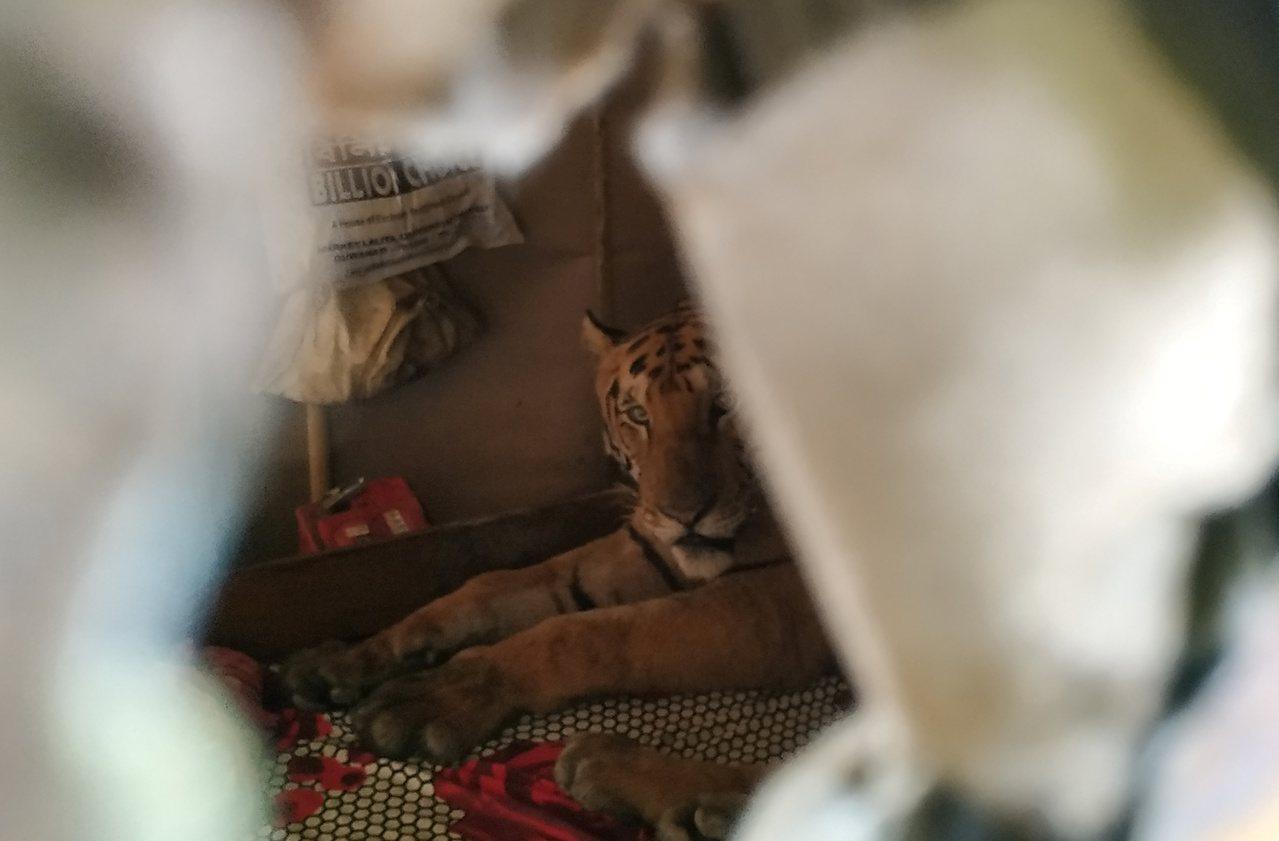 老虎似乎查覺到人類回家了,隔著牆上的孔與鏡頭對望。路透/DR. SAMSHUL ...