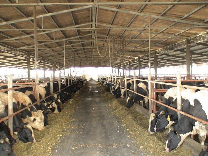 農委會本月優先開放乳牛業移工申請,圖為神農獎得主楊鎵燡的畜牧場,楊說,養牛24小...