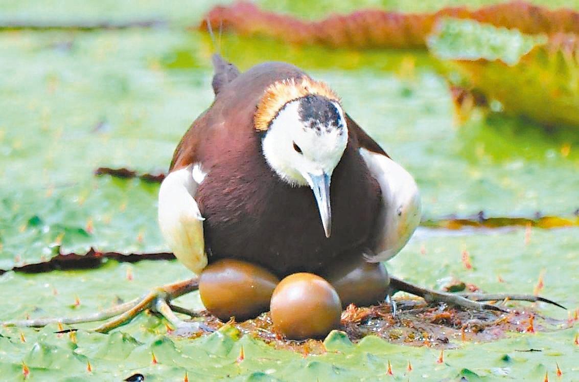 宜蘭勝洋水草休閒農場正有水雉公鳥孵化3顆蛋,吸引很多人前往拍攝記錄生態。 圖/周...