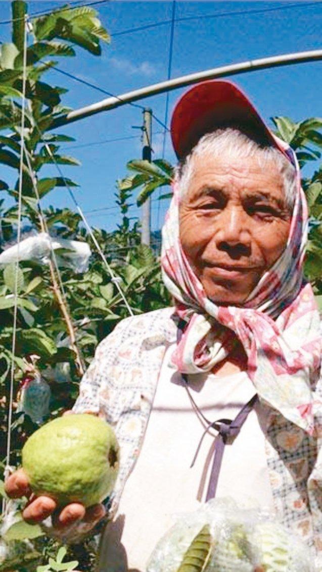 摩天嶺本來是知名的甜柿專區,極端氣候影響,亞熱帶的芭樂已悄悄占據甜柿園。 圖/黃...