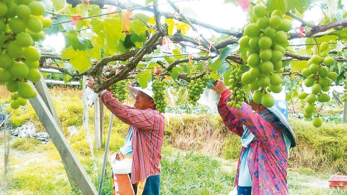 彰化果農黃昭彥說,不敵極端氣候,他種了40年葡萄今年賣出最後一批,退休了。 圖/...
