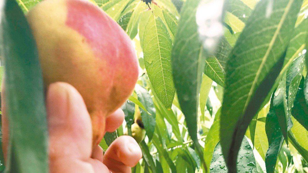 陸文霖與林明珠種的鶯歌六月慢桃,老欉價格翻10倍,是不少人記憶中尋尋覓覓的古早味...